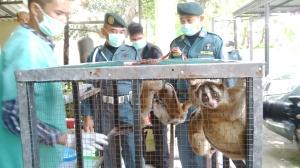 Petugas mengamankan Kukang yang dijual secara online oleh AJ.